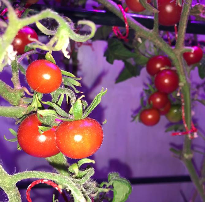Fresh tomatoes from hydroponics cabinet