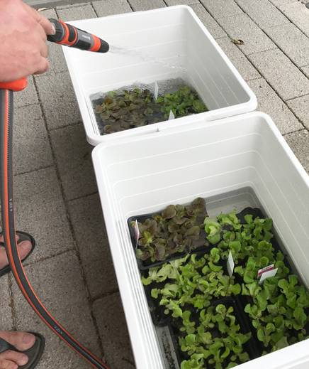 Conventional salad seedlings